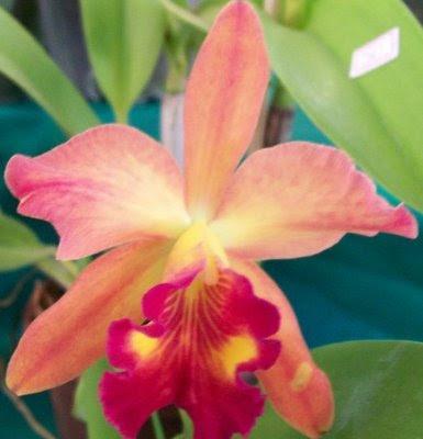 Veja alguns tipos de Orquídeas Raras