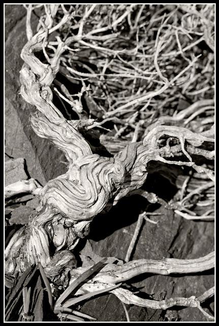 Nova Scotia; Gaff Point; Roots