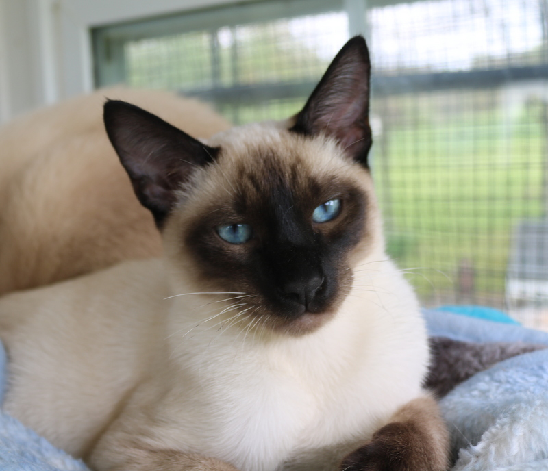 Seal male Siamese age 5 months .