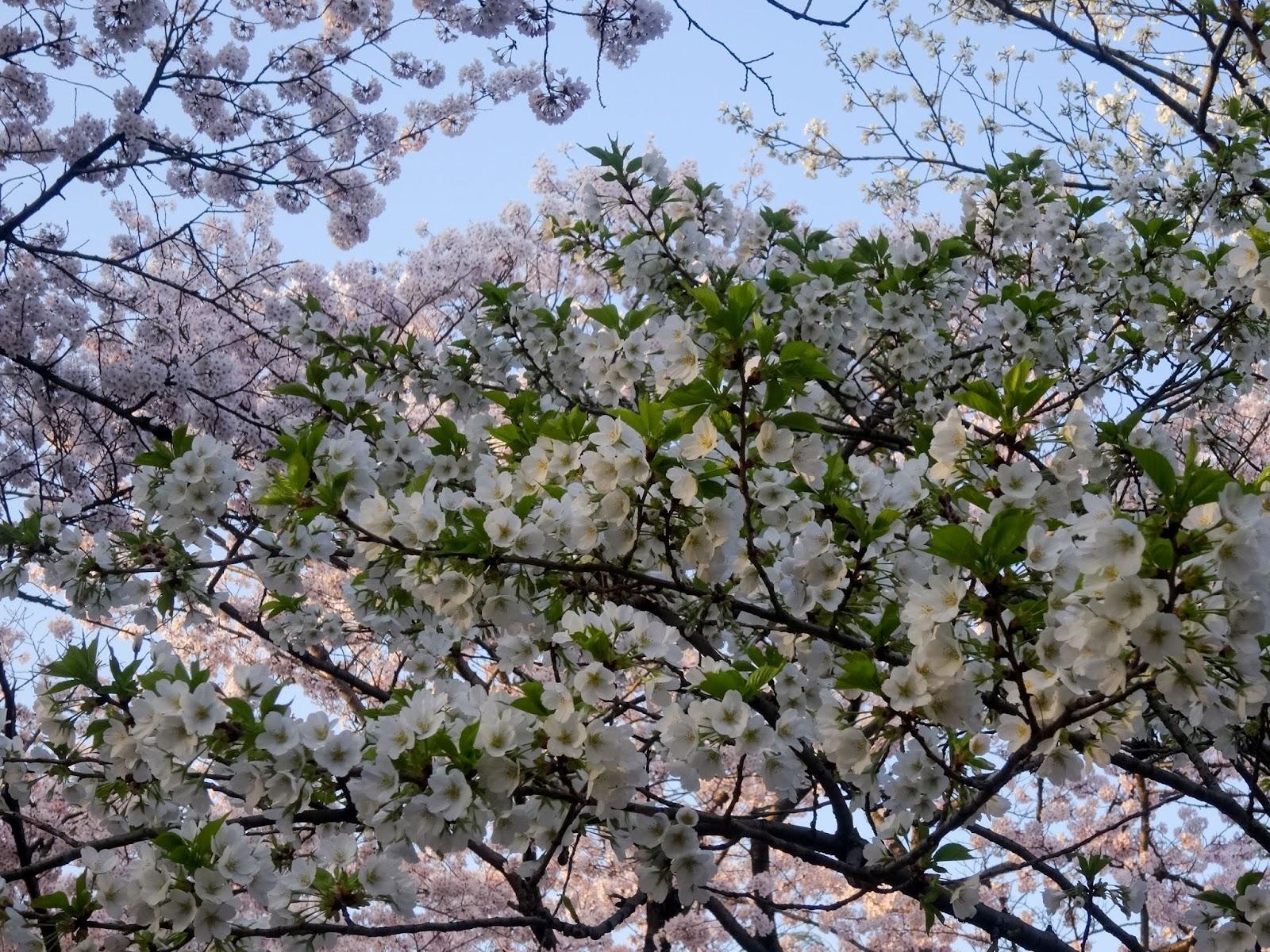 葉桜,代々木公園〈著作権フリー画像〉Free Stock Photos