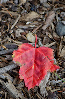 Red maple leaf against dark mulch