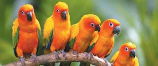 Foto Gambar Burung Beo