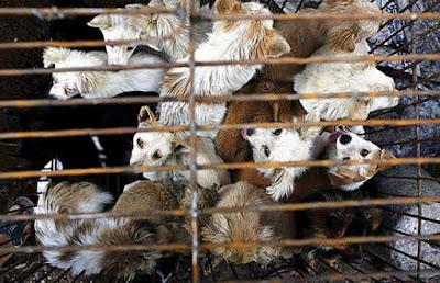 Kejam.. 10 Ribuan Anjing Dibunuh dan Dikuliti Hidup-hidup Baru Dimasak di Festival Yulin Kemarin