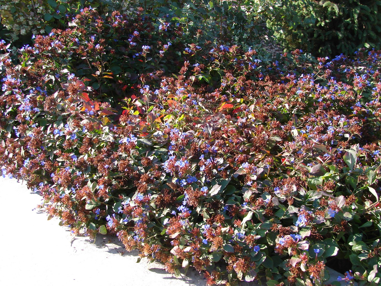 new utah gardener blue plumbago  ceratostigma plumbaginoides, Natural flower