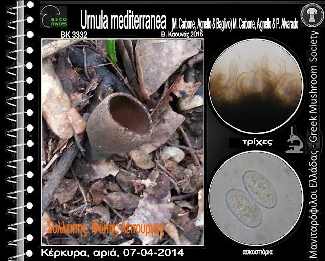 Urnula mediterranea (M. Carbone, Agnello & Baglivo) M. Carbone, Agnello & P. Alvarado
