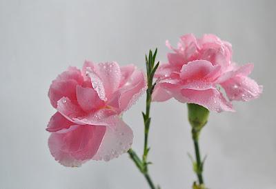 Hermosos claveles de color rosa después de la lluvia