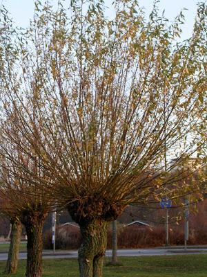 träd i höstsol. foto: Reb Dutius