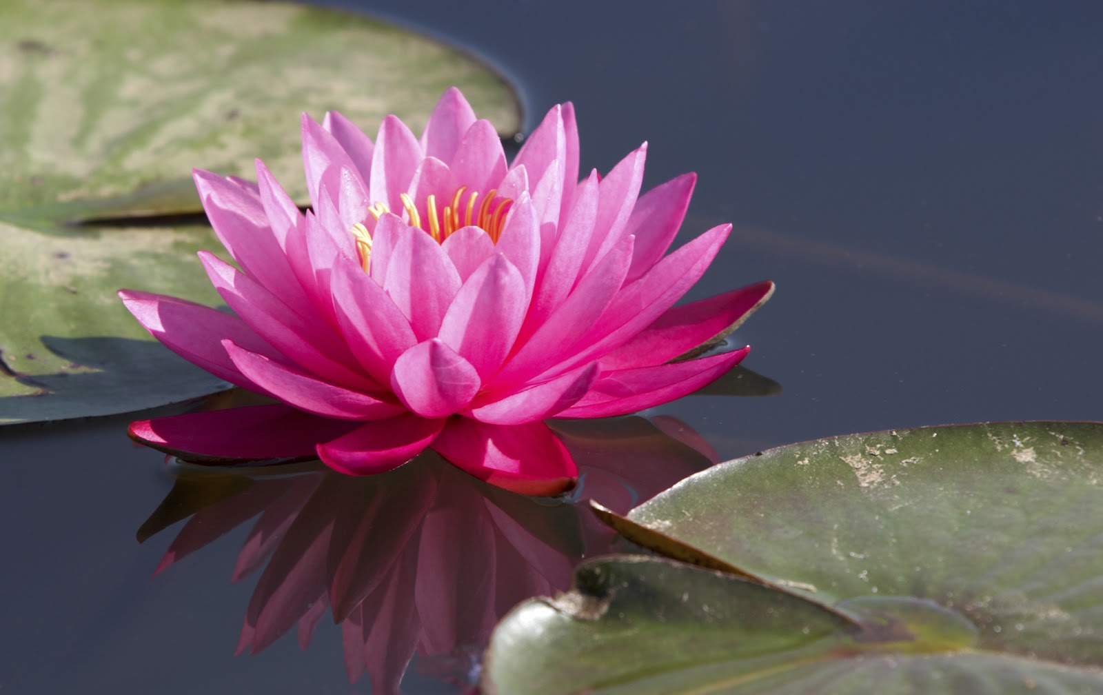 Welcome To My Blog Symbol Of Lotus Flowers