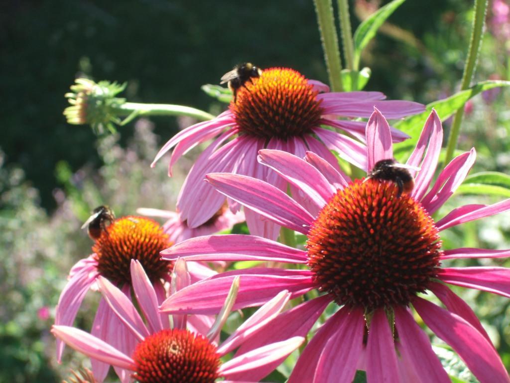 pflanzen resort purpur sonnenhut echinacea purpurea. Black Bedroom Furniture Sets. Home Design Ideas