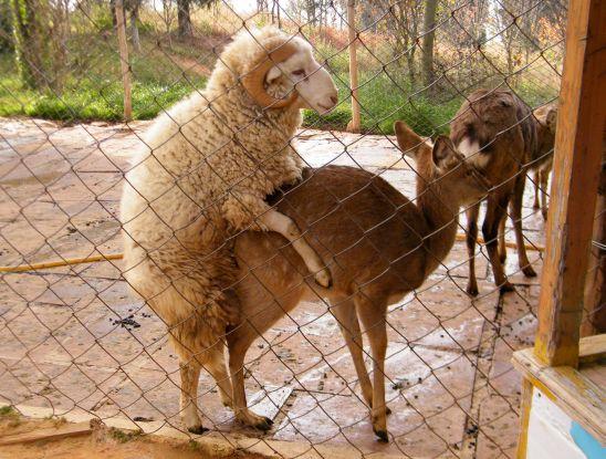 Sheep Mating Goat Mating Pig Mating Youtube | Reseller Baju Di Solo ...