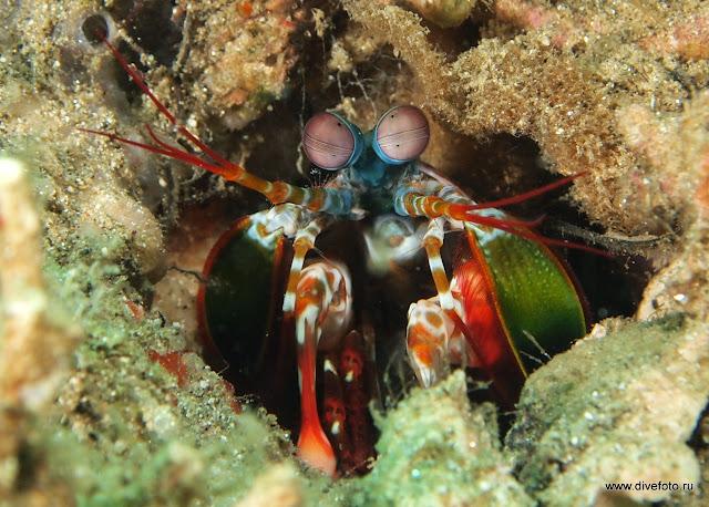 mantis shrimp фото