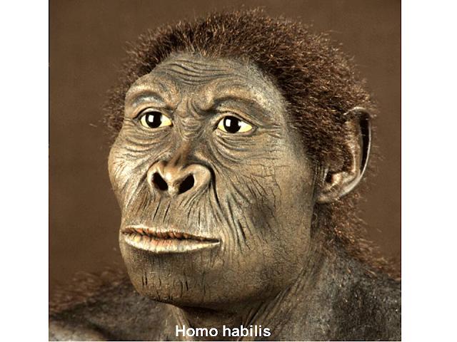 homo habilis rekonstrukció