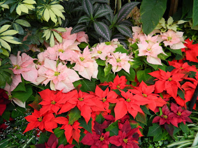 Allan Gardens Conservatory Christmas Flower Show 2015 layers of poinsettias by garden muses-not another Toronto gardening blog