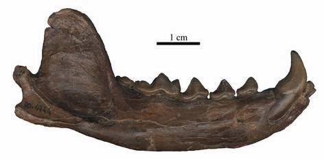 Hemimandíbula derecha de Teruelictis Riparius
