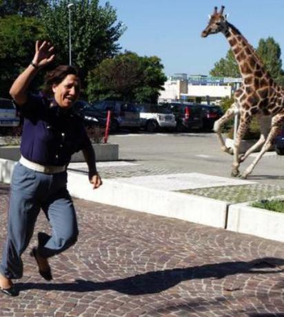 funny picture of giraffe