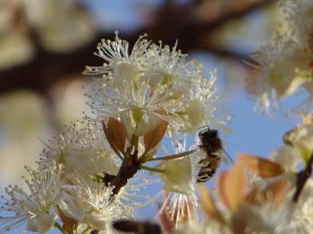 Flores Cagaita