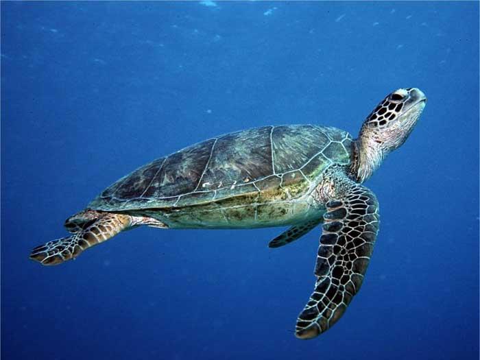 Info Fauna: Penyu Terus Semakin Terancam Punah