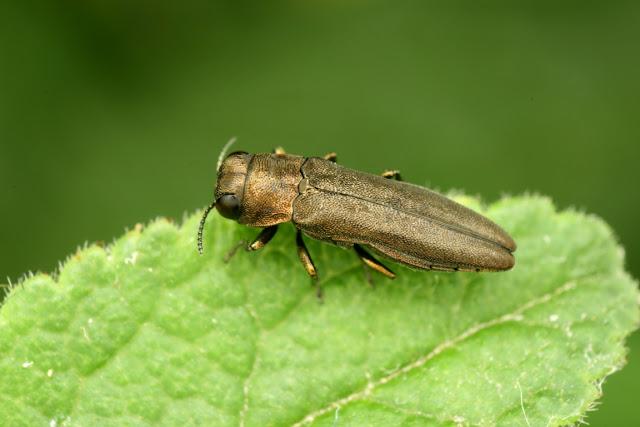 Agrilus macroderus