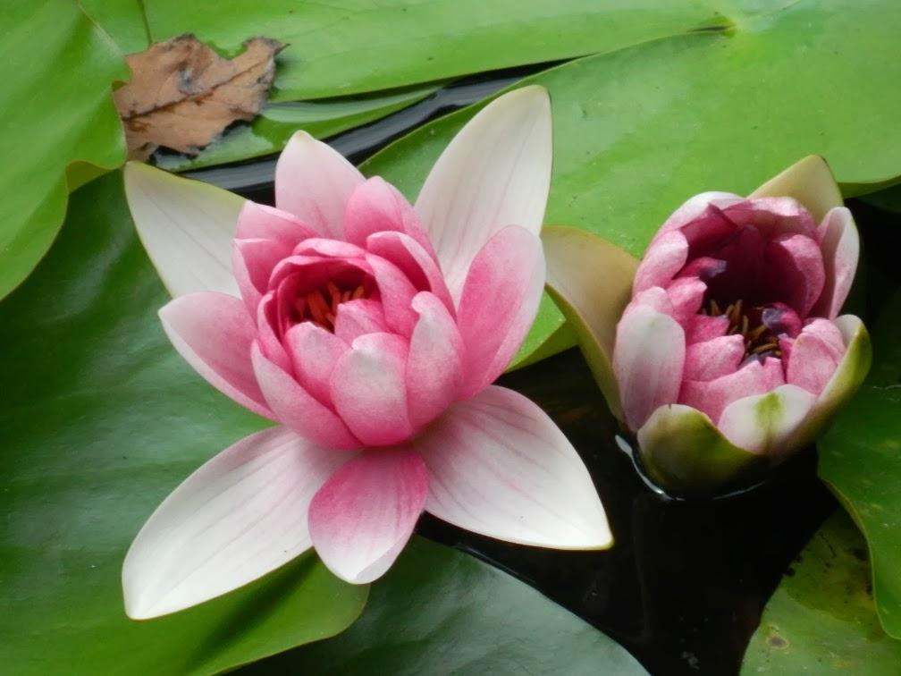 Lingering Garden Suzhou water lily by garden muses-Toronto gardening blog