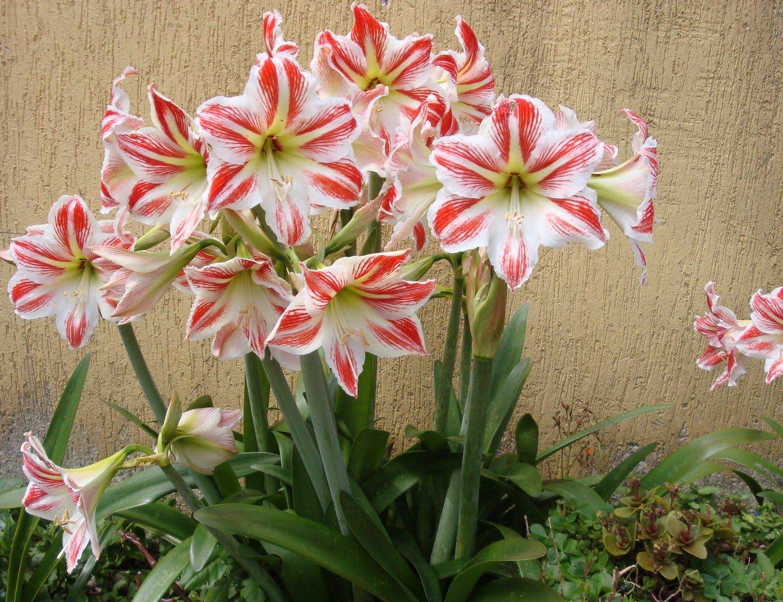 Цветы луковичные фото луковицы