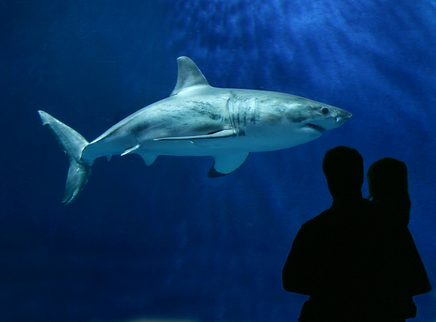 la captivit 233 tue un grand requin blanc site national de l association c est assez