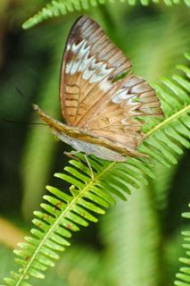 Horsfield's Baron (Tanaecia iapis puseda) f