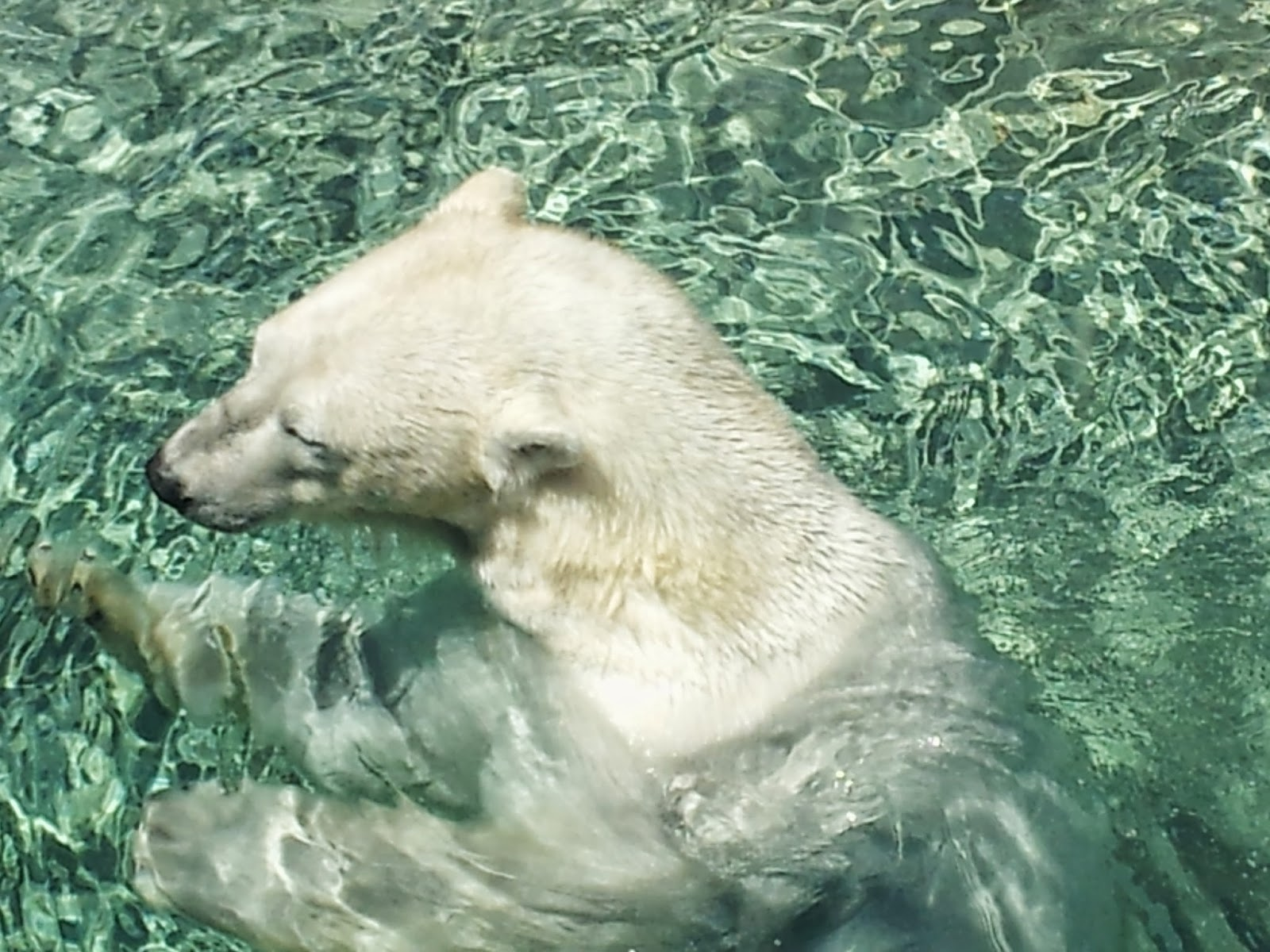 Polar Bear, animals, animal photography, zoo, Toronto Zoo
