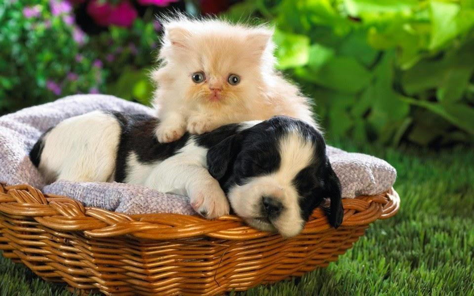 hình ảnh đẹp mèo con cho pc
