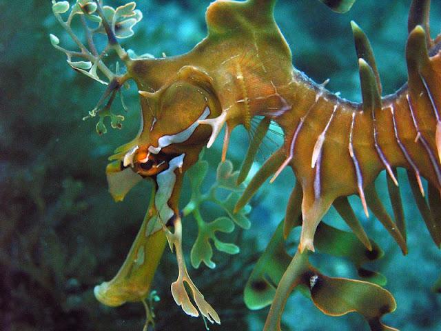 15698 صور تنين البحر الكائن البحري الاكثر ندرة