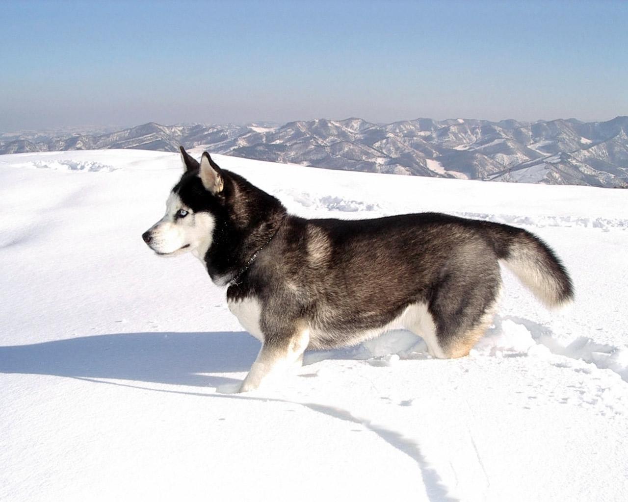 http://2.bp.blogspot.com/--zf1BSErpxA/UEpRXQQvRBI/AAAAAAAAAWI/Vtm52Uypulw/s1600/Husky_Siberiano1.jpg