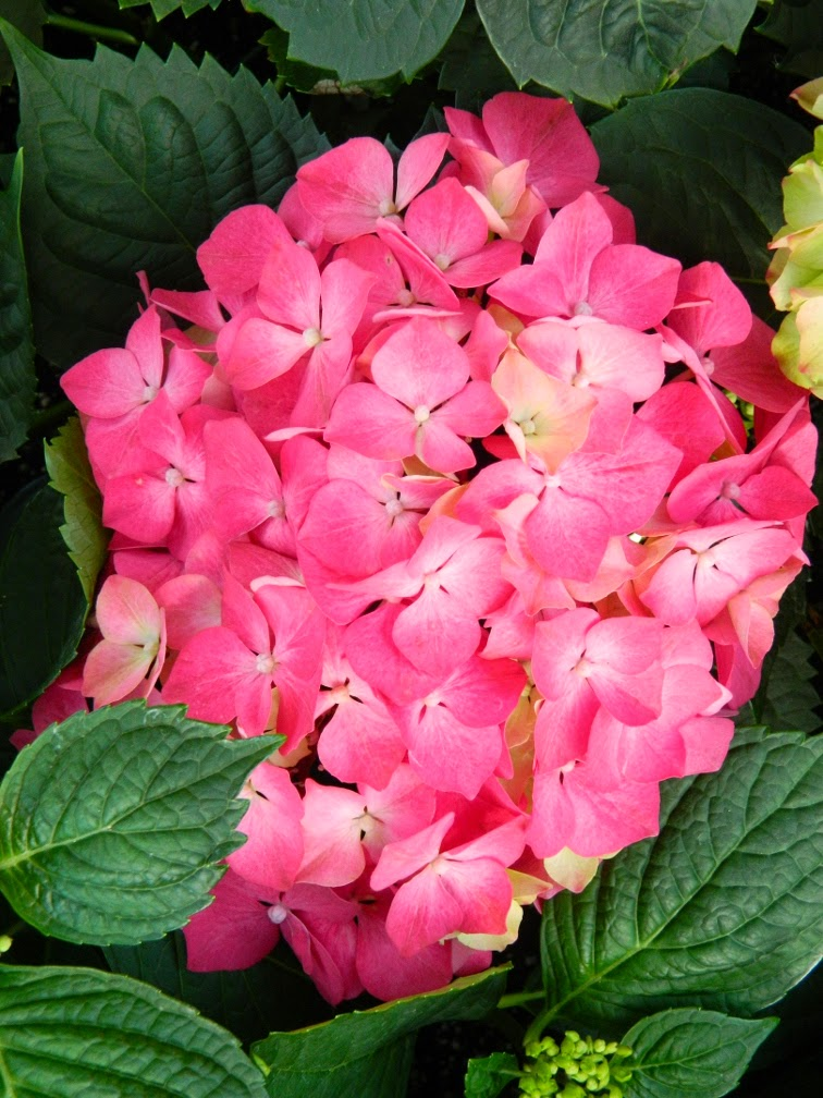 Pink red hortensia hydrangea macrophylla Allan Gardens Conservatory 2014 Easter Flower Show