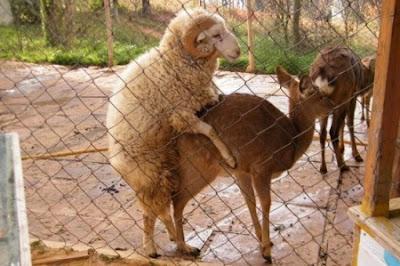 oveja carnero montando al venado