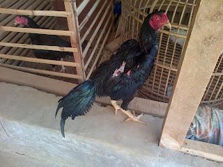 Ayam bangkok mojokerto cara melatih ayam aduan ii cara melatih