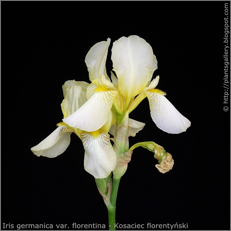 Iris germanica var. florentina - Kosaciec florentyński kwiatostan