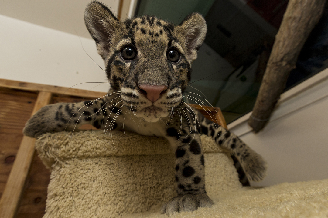 life with dylan clouded leopard cubs are the purrfect addition to