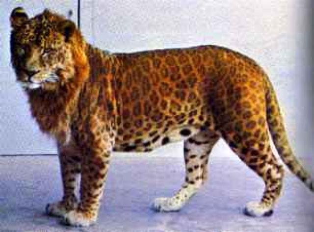leopardo + leona = leopón