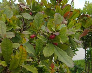 buah ajaib richardella dulcifica