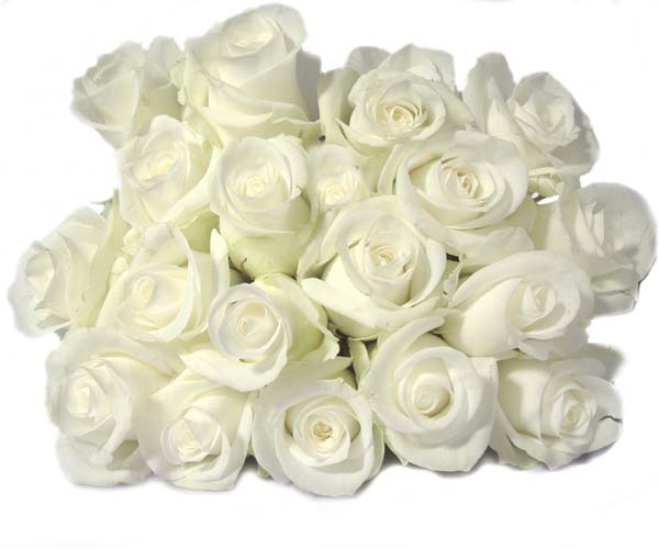 Beautiful White Roses Flower Collections 31
