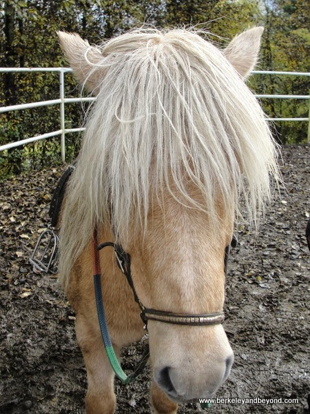 blonde Iceland horse at Fridheimar Greenhouse in Iceland