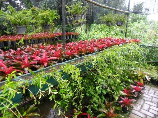 tanaman Lee Kuan Yew hias