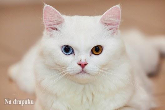 Dziedziczenie białego umaszczenia u kotów