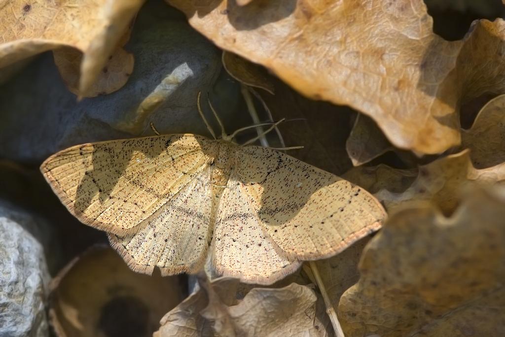 Cyclophora (Codonia) linearia (Hübner 1799)