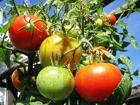 foto pomodori rossi e freschi