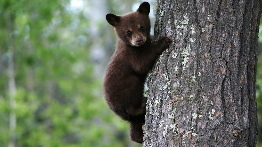 Bear Cub on Tree