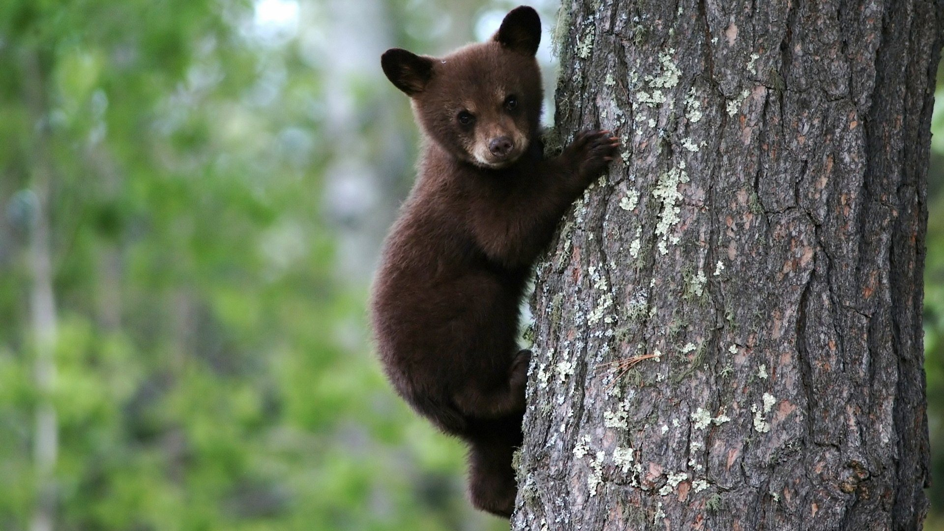 http://2.bp.blogspot.com/-00uIu94NiMU/UNxcTerDR_I/AAAAAAAAQFA/xyQkvCBSKcc/s1920/bear-cub-on-tree-wallpaper.jpg