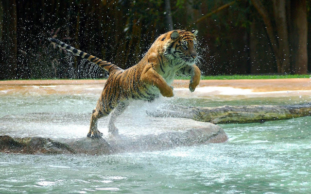 Wallpaper of a jumping and attacking tiger going to jump in the water of the zoo