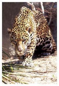 cuantos jaguares anteojos hay colombia