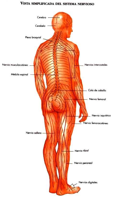 Imagen del Sistema Nervioso del ser humano (Vista simplificada)