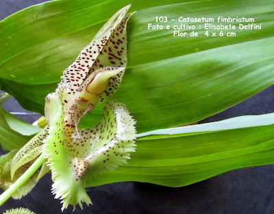Catasetum fimbriatum - verde do blogdabeteorquideas