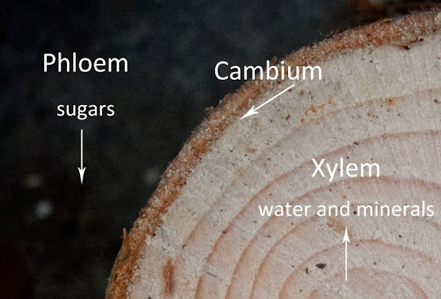 cross section of tree showing phloem and xylem